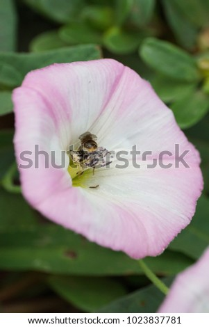Macro Caucasian Caucasian Caucasian bee Andrena nitidiuscula collecting pollen and nectar in stamens inside a white and pink convolvulus Strophocaulos                               #1023837781