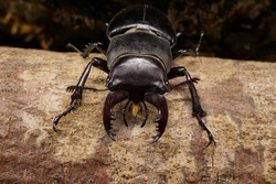Macro Caucasian stag beetle sitting in a crevice of oak branches