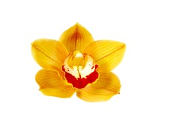 macro closeup of a bright orange yellow with red lip Cymbidium orchid flower branch isolated on white with space for text