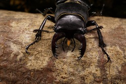 Macro front view Caucasian stag beetle sitting in a crevice of oak branches