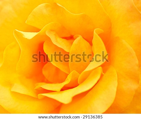 Macro image of yellow rose