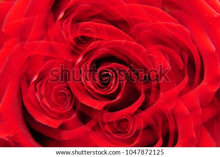"""Macro inflorescence of red rose """"Niccolo Paganini"""" with twisted petals in five sectional reflection                               #1047872125"""