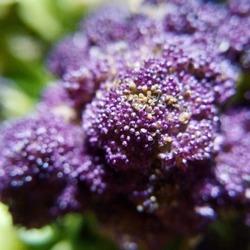 Macro of bright purple cauliflower