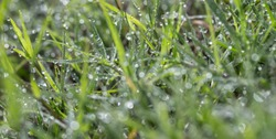 macro of dew drops on blades of fresh grass, morning rays of sun,wet green grass with dew lawn background