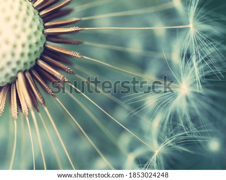 macro photo of a dandelion on a blue background Foto stock ©