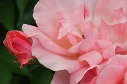 macro photo of soft pink roses and buds on a background of dark green foliage