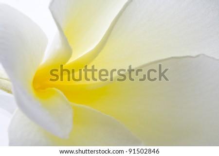 Macro photography Frangipani on white background