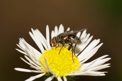 Macro side view of a gray-brown Caucasian flyfly sprout Delia platura eating on a yellow-white flower Erigeron canadensis in summer