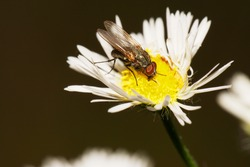 Macro side view of a gray-brown Caucasian flyfly sprout Delia platura sitting and eating on a yellow-white flower Erigeron canadensis in the rain in summer