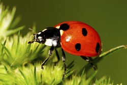 Macro side view of Caucasian red seven-spotted ladybug with black and white spots on the elytra, long legs, antennae has risen on legs in green inflorescence