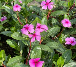 Madagascar evergreen, Cathranthus roseus, is an important medicinal plant with pink or white flowers and is used in medicine.