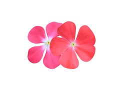 Madagascar periwinkle, Vinca,Old maid, Cayenne jasmine, Rose periwinkle, Close up pink-red small flower bouquet isolated on white background. Couple flower.