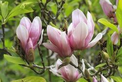 Magnolia flower (Magnolia x soulangeana)