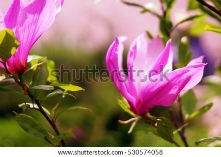 1 magnolia, flowers, bloom, purple, green, bright, beautiful, garden, summer, September, August,