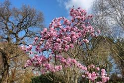 'Magnolia x Soulangeana', or pink saucer magnolia in bloom