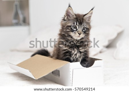 Maine Coon kitten lying in a box on a white background #570549214