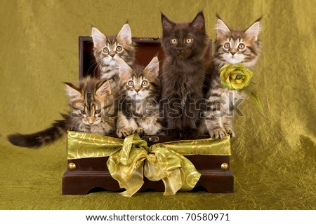 5 Maine Coon kittens inside wooden treasure chest on green background