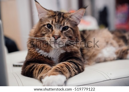 Maine Coon. The largest cat. A big cat.  Maine Coon #519779122