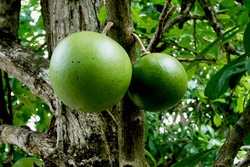 Maja fruit (Aegle marmelos) Correa, is a tree-shaped plant that is resistant to harsh environments but easily decays and comes from tropical and subtropical Asia. This plant is usually