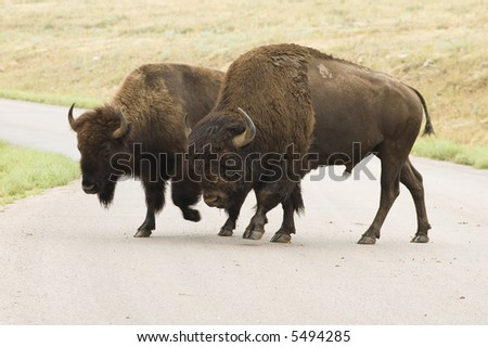 male and female American buffalo crossing the road  in Custer State Park in the Black Hills of South Dakota. The largest land mammal in North America.