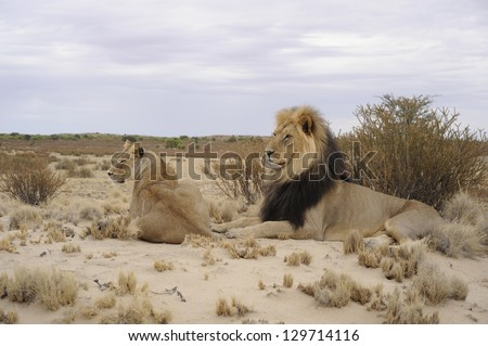 male and female lions (Panthera leo) in the sand dunes of the Kalahari desert, kgalagadi Transfrontier park, South Africa.