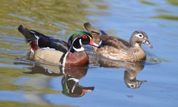 Male and female wood duck swimming together.