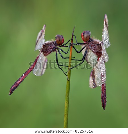 2 male Banded Darters having a conversation