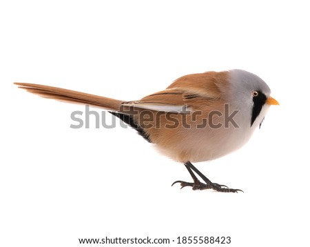 Photo of   male beraded tit  (panurus biarmicus), isolated on white background.