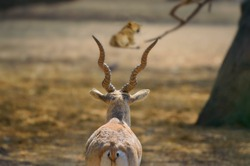 Male Blackbuck looking at a lion resting on a sunny day