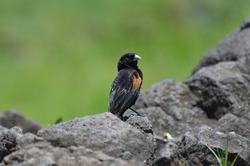 Male Fan tailed widowbird Euplectes axillaris in Serengeti National Park Tanzania Africa
