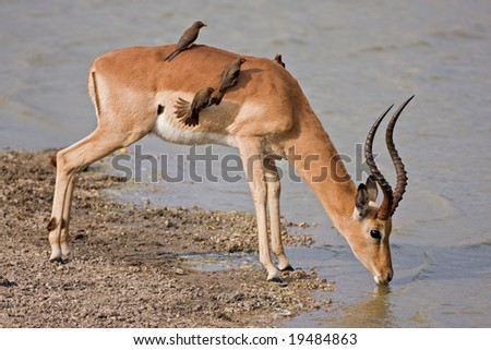 Male Impala at waterhole with oxpeckers on its back; aepyceros melampus; South Africa