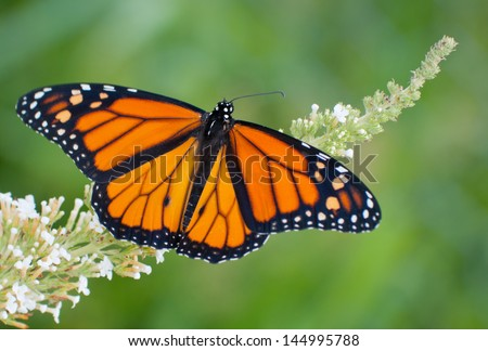 Male Monarch butterfly feeding on a white flowers of a butterfly bush against summer green background