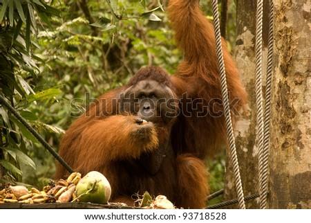 Male orangutan, Semenggoh, Borneo, Malaysia