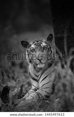 male tiger Picture taken in bandhavgarh tiger reserve , india