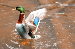 Mallard duck landing on water surface in Bavarian forest in Germany