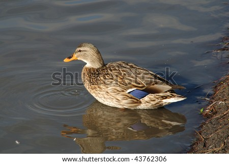 """Mallard, Female Taking a Bath"" Photos taken at the Roseburg Duck Pond, 1000 blk NW Garden Valley Blvd. Roseburg OR"
