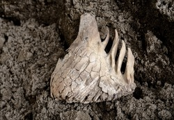 mammoth tooth lies on surface of soil. Fossilized remains of extinct herbivores. Paleontological exhibits.