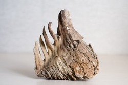 mammoth tooth with roots on  gray background. Fossilized remains of extinct herbivores. Paleontological exhibits.