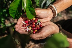 Man's hands holding flowers and coffee beans in a coffee plantation in Ecuador.
