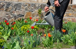 man watering flowers in a flowerbed in a garden