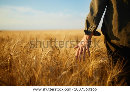 Man With His Back To The Viewer In A Field Of Wheat Touched By The Hand Of Spikes In The Sunset Light. Wheat Sprouts In A Farmer's Hand.Farmer Walking Through Field Checking Wheat Crop.