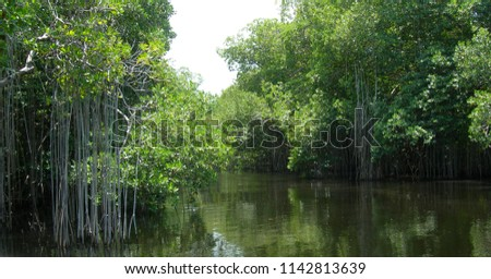 Mangrove swamps at Black River Jamaica