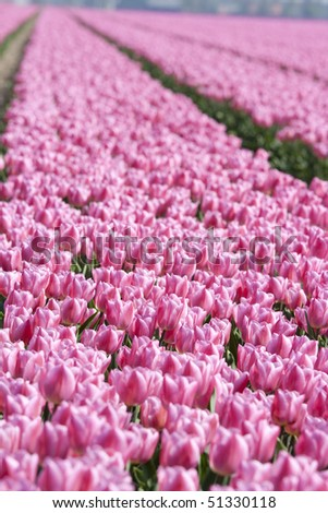 Many pink tulips on a field in the Netherlands