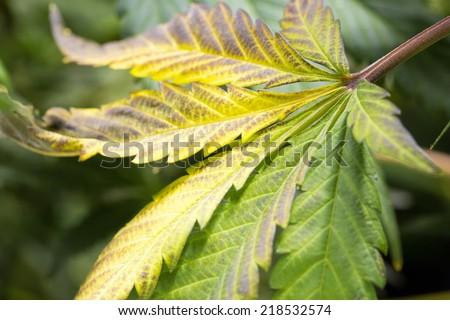 Marijuana leaf turning yellow cannabis hemp plant harvest time marijuana leaf turning yellow cannabis hemp plant harvest time mightylinksfo
