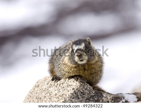 """Marmot in the Moment"" - A marmot has an inquisitive looks on its face."