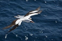 2 masked booby flying together