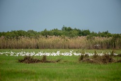 masses of Great egret in  lagoon