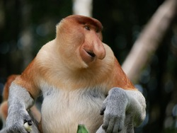 Mature male Proboscis monkey or Long-nosed monkey (Nasalis larvatus) posing in the group.