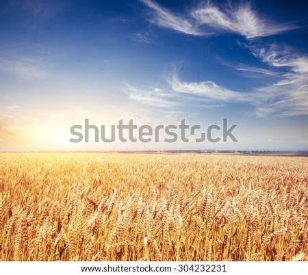 meadow wheat under sky  #304232231