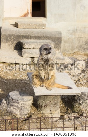 Meerkat relaxing on a stone. #1490861036